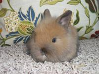 Purebred Lionhead rabbit babies for sale. All of my