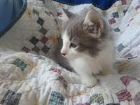 I have one purebred Maine coon male kitten he will be
