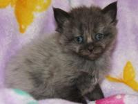 We have 1 pure-blooded Maine Coon kitten left from a