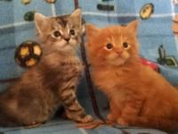 We have 4 purebred Maine Coon Kittens left from a trash