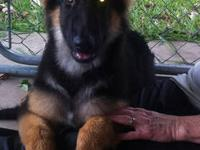 3 year male german shephard for sale. He is not