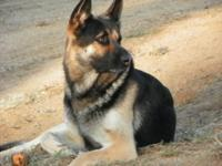 Beautiful large breed German Shepherd puppy. Classic
