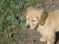fluffy, adorable male golden puppy. purebred - Ready