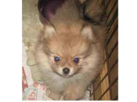 ALFIE IS A CUTE LITTLE MALE POMERANIAN PUP. WE ARE