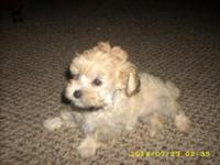 Purebred Toy Poodle Puppies: They were born June 1st