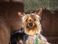 One year old Purebred Male Yorkie, weighs 4 pounds. I