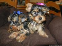Pretty Tiny and t-cup Yorkie puppies. 7 week old