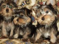 I have 2 toy sized Yorkshire Terrier puppies left