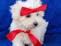Purebred Maltese puppies available.ATTACH your number