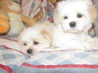 top class litters of Maltese puppy for adoption has