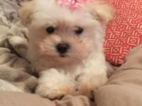 I have one female pure bred , unpapered Maltese