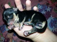2 Black and cream babies available!! 1 male and 1