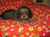 Red longhair mini dachshund puppies, all males. Both