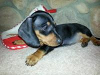 Dachshunds Puppies For Sale In Minnesota Classifieds Buy And Sell
