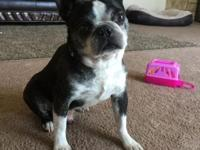 Purebred miniature french bulldog, 4 years old. He is