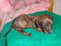 5 Purebred Miniature Dachshund Puppies will be ready