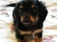 Male long hair black and tan DOB July 22, 2015 Ready