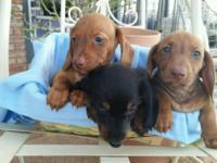 Purebred Miniature Dachshunds.NO PAPERS. All Males