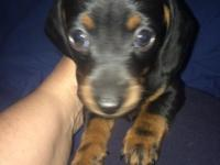 Hi, my name is Clover and I am a Black and Tan female