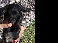 Purebred Miniature Dachshund.NO PAPERS.ONE Male LEFT