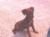 AKC chocolate Miniature Pinscher puppies available for