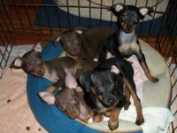 I have four adorable miniature pinscher puppies