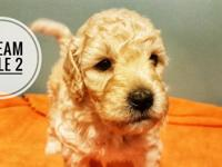 Purebred miniature poodle puppies for sale, ready to go