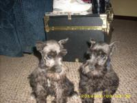 Purebred Miniature Schnauzer Puppies: Ears are cropped,