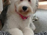 Purebred Old English Sheepdog Females. She is a fun