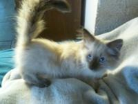Purebred Pedigreed Legend Cat Colorpoint Kittens. Breed