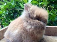 I have 8 week old purebred double mane Lionhead