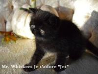 Three kittens available from a small, cageless breeder!