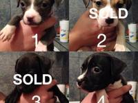 Pitbull puppies full bred half blue nose half red nose
