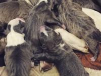 Beautiful purbred pitbull puppies. Brindle, grey or