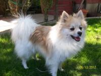 16 month old Female Pomeranian. Lulu is a wonderful