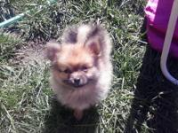 Purebred Pomeranian puppies there is 2 females left!