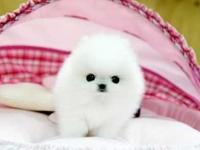 Purebred Pomeranian puppies available.ATTACH your