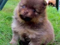 Three males Pom puppies for sale. They will be ready