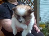 Adorable Pom Puppy White and brown male. The litter's