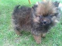 Purebred Pomeranian pups, lotion guy, orange sable