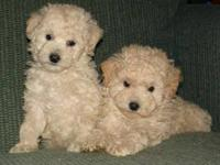 2 purebred miniature female poodle puppies. 1 cream, 1