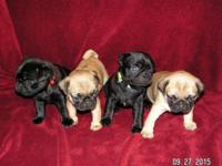 Taking Deposits on 4 Playful Pug puppies (1 Female and