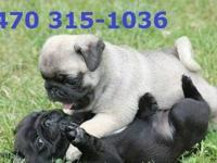 Purebred Pug puppies available.ATTACH your number while