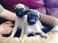 We have male & female pug puppies ready to meet their