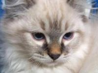 I have 1 male Purebred Ragdoll kitten available. They