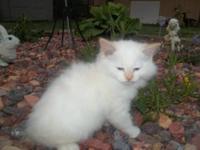 I have a beautiful blue eyed purebred ragdoll kitten