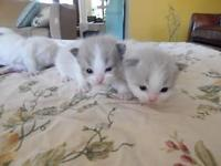 Purebred Ragdoll kittens Raised with children and other