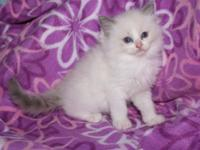 Gorgeous TICA Registered Ragdoll kittens available when