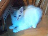 I have 1 female white kitten for sale. female kittens