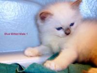 Classic Lovely Purebred Ragdoll Kittens DOB March 23,